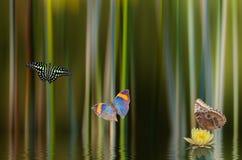 Lilly和蝴蝶 库存图片