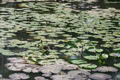 lilly填充池塘泰国 免版税库存图片