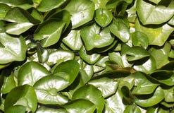 lilly填充水 免版税库存图片