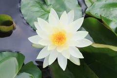 lilly宏指令接近的白色黄色莲花或weter 图库摄影