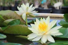 lilly宏指令接近的白色黄色莲花或weter 免版税库存图片
