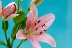 lilly日粉红色 库存图片