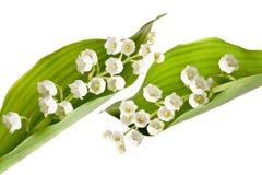lilly枝杈 免版税库存照片