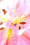 lilly桃红色热带 免版税库存图片