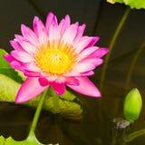 lilly桃红色水 免版税图库摄影