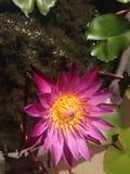 lilly桃红色水 图库摄影