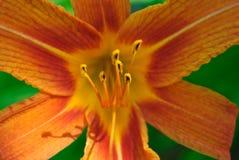 lilly桔子背景 免版税图库摄影