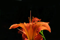 lilly桔子背景 图库摄影