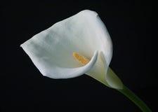 lilly水芋属 免版税库存照片