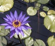 lilly池塘 免版税库存照片