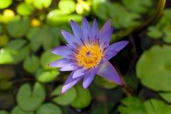 lilly池塘水 图库摄影