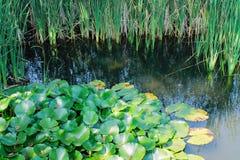 lilly池塘 库存照片
