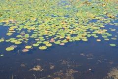 lilly池塘 库存图片