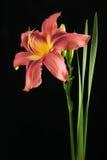 lilly粉红色 图库摄影