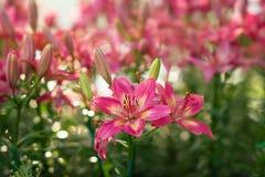 lilly粉红色 库存照片