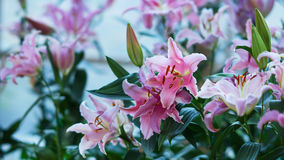 lilly粉红色 免版税库存图片