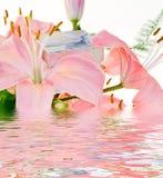 lilly粉红色 库存图片