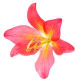 lilly粉红色 免版税库存照片