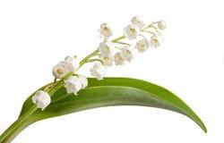 lilly绿色叶子 免版税库存图片