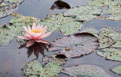 lilly背景水 桃红色水lilly与绿色在湖离开 夏天背景 立陶宛植物群 荷花居住作为rhi 库存照片