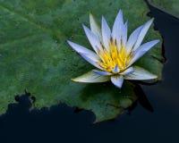 lilly蓝色和黄色水在池塘 免版税库存照片