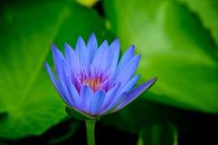 lilly蓝色池塘水 免版税库存图片