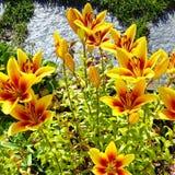 lilly żółty Zdjęcie Stock