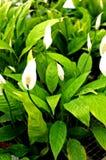 lilly ειρήνη στοκ εικόνα με δικαίωμα ελεύθερης χρήσης
