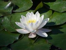 lilly λευκό ύδατος Στοκ Εικόνες