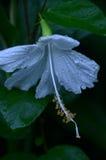 lilly λευκό Στοκ φωτογραφίες με δικαίωμα ελεύθερης χρήσης