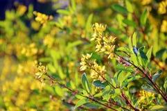 lilly κίτρινος Στοκ Εικόνα
