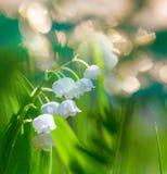 lilly κοιλάδα Στοκ Φωτογραφία