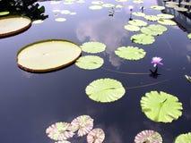 lilly λίμνη Στοκ Φωτογραφίες