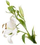 lilly λευκό Στοκ Φωτογραφίες