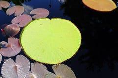 lilly μαξιλάρι Στοκ φωτογραφίες με δικαίωμα ελεύθερης χρήσης