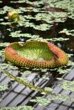lilly μαξιλάρι Στοκ Εικόνες