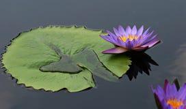 lilly μαξιλάρι Στοκ Φωτογραφίες