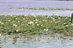 lilly μαξιλάρια Στοκ Εικόνες