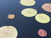 lilly μαξιλάρι Στοκ φωτογραφία με δικαίωμα ελεύθερης χρήσης