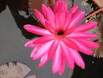 lilly λουλούδι νερού, λωτός Στοκ Εικόνες