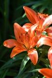 lilly πορτοκάλι Στοκ Φωτογραφίες