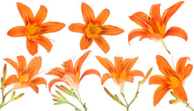 lilly πορτοκάλι Στοκ Εικόνες
