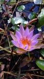 lilly ροζ Στοκ Εικόνες