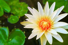 lilly το λουλούδι που ανθίζει την ημέρα πράσινη lilly γεμίζει backgroung Στοκ φωτογραφία με δικαίωμα ελεύθερης χρήσης