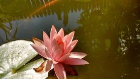 lilly ύδωρ Στοκ Εικόνες