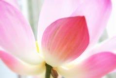 lilly ύδωρ Στοκ φωτογραφία με δικαίωμα ελεύθερης χρήσης