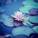 lilly ύδωρ Στοκ Εικόνα