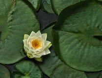 lilly ύδωρ Στοκ εικόνες με δικαίωμα ελεύθερης χρήσης