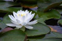 lilly ύδωρ Στοκ εικόνα με δικαίωμα ελεύθερης χρήσης