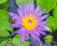 lilly ύδωρ Στοκ Φωτογραφίες